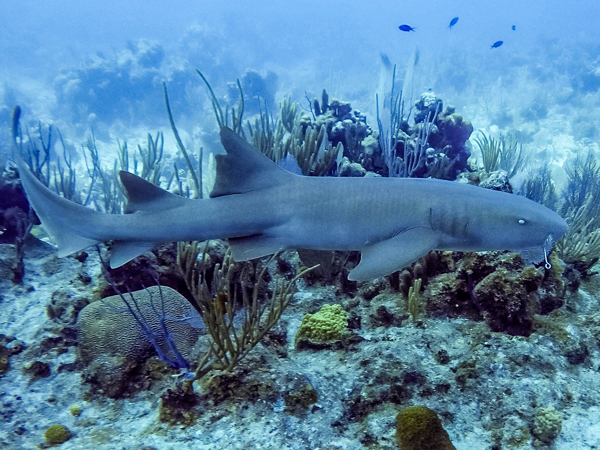 Restored underwater photograph of shark with hook in its mouth swimming in front of coral